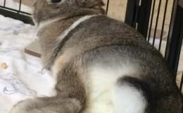 poppy dutch bunny butt