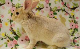 carson bunny c web