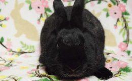 brambleberry bunny web