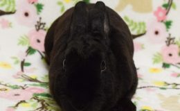 amelia bunny web